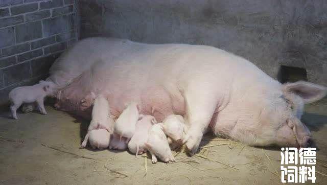 养殖户如何正确使用乳猪伟德国际网址